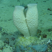 <span class=heading><b>Protecting our deep-sea potential</b> by Elisa Morgera</span><br />Deep-sea sponges, many of which are new to science, are home to weird and wonderful bacteria that could be the solution to one of the greatest threats to human health - antimicrobial resistance, when antibiotics no longer work. The One Ocean Hub, led by University of Strathclyde, brings together deep-sea marine researchers, law and social science experts to ensure deep-sea sponges are recognized for their essential contributions to human wellbeing and are better protected.<br /><span class=small>Image: © 2021 Kerry Howell</span>. <span class=small>Collaborators: Mat Upton, Kerry Howell, Rosie Dorrington, Jazz Conway</span>