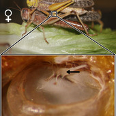 <span class=heading><b>Hearing the World</b> by Shira Gordon (Electrical and Electronic Engineering)</span><br /><p class=int>Animals hear to communicate and avoid predators. This image shows the location of the locust ear on a female, in a pair of mating locusts. The inside of the ear is displayed below. The black arrow indicates where the neurons attach to the tympanal membrane. <br /><br />Insect ears have evolved at least seven independent times. I study insect ears, focusing on the locust, including how the ear physically moves (i.e., sound hits the membrane creating a travelling wave), behavioural differences between groups of animals (e.g., sex, solitary vs gregarious phases, age), and neurophysiological responses. My work impacts not only biologists leading to many different types of insights (e.g., evolutionary, behavioural, physiological) but, helps engineers create sensory devices. If insects can hear with ears that are less than a few mm in size, we should be able to mimic them in sensors. The smallest directional microphone is based on an insect ear.</p><span class=small>Image: © 2012 Shira Gordon</span>